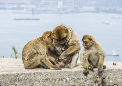 Gibralter Reality Design Monkeys